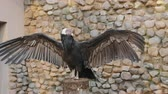 sideview : Andean Condor sitting on a stump spreading its wings