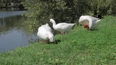 Flock of white geese plucking and eating fresh green grass near river in summer