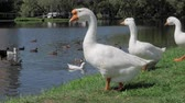 Group of white geese standing on green grass and swimming in river in summer
