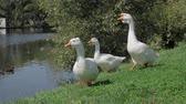 Flock of white geese on green grass and ducks in the river on summer day