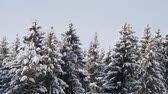 Forest of old tall spruce trees, branches bent under thick layer of snow. Panning shot