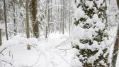 Snow falling peacefully in winter forest. Tree trunks and branches covered with thick layer of snow. Vídeos