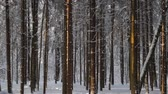 Pine trees covered with fresh snow and lit by the sun in white winter forest. Panning shot Vídeos