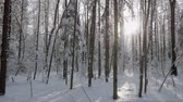 Sun coming through trees covered with thick layer of fresh snow in beautiful winter forest. Panning shot Vídeos