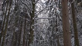 Old tall trees with crooked bent branches covered with thick layer of fresh snow in white winter forest. Tilt up shot