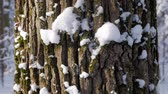 Extreme close up of textured tree trunk covered with fresh snow in white winter forest. Tilt down shot