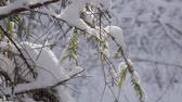 Close up of fir tree branches covered with fresh snow in winter forest. Tilt down shot