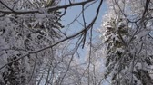 Camera moving forward under tree tops covered with snow in winter forest. Dolly shot, low angle view.