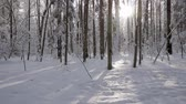 Sun coming through trees covered with a thick layer of fresh snow in beautiful winter forest. Tilt up shot