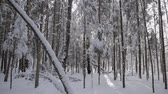 jedle : Covered with a thick layer of fresh snow. Panning shot Dostupné videozáznamy