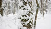 Snow falling peacefully in white winter forest. Tree trunks and branches covered with a thick layer of snow.