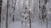 Sun peeking out through trees with bent branches covered with a thick layer of fresh snow in beautiful winter forest.