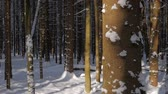 Pine trees covered with fresh snow spots, lit by the sun and casting shadows in white winter forest. Tilt down shot