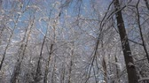 Tall trees in winter forest, branches covered with snow. Tilt up shot, low angle view. Vídeos