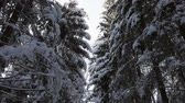 Old tall spruce trees, branches bent under a thick layer of snow.
