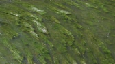 Green grassy river algae moving in transparent water