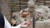Reconstruction of medieval hand spinning. Spinner pulling out wool strand from unspun fibers secured on distaff Filmati Stock