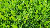 freshness : Natural vegetative background from leaves of ficus Stock Footage