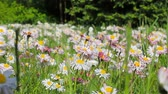 traçado : Natural background of fresh spring daisies in the grass trembling in the wind