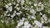 traçado : Natural background of fresh spring white flowers, quivering in the wind