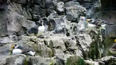 papuga : A group of birds Fratercula arctica cleans feathers on a cliff