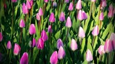 observação : Fresh bright tulips. Natural background of young tulips. Stock Footage