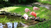 kuş sürüsü : Group of pink flamingos sleeping near a small pond Stok Video