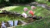 фламинго : Group of pink flamingos sleeping near a small pond Стоковые видеозаписи