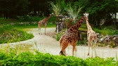 giraffe : Group of young African giraffes on a walk Stock Footage