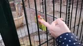 A sociable parrot, a lovebird, likes to be stroked on the head. Стоковые видеозаписи