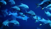 организованный : A flock of marine fish swims slowly in one direction