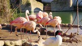 ringed : A group of pink flamingos resting near a small pond Stock Footage