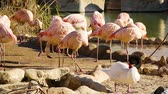 wetland : A group of pink flamingos resting near a small pond Stock Footage