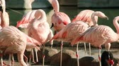 ringed : A group of pink flamingos are cleaning feathers near a small pond.