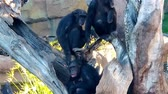 ütüleme : Family of chimpanzees resting on a tree. Chimpanzee strokes another