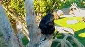 ütüleme : A young chimpanzee drenches his fingers after eating Stok Video