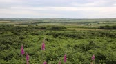 outstanding : View of Welsh countryside from Ryers Down The Gower peninsula Wales UK with pink flowers in an Area of Outstanding Natural Beauty AONB near Reynoldston and Oxwich Stock Footage