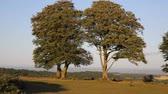 frondoso : Quantock Hills Somerset England UK Seven sisters trees on top of Cothelstone on a summer evening Stock Footage