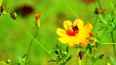 yellow flower : Bees with flowers in the garden Stock Footage