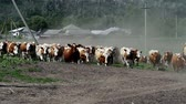 nourish : Dairy cows returning from the pasture to the farm