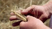 crescido : Harvesting of cereals: wheat, barley, rye. Stock Footage