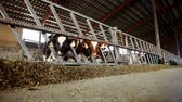 nourish : The breeding of cows. Calves eating nutritious fodder standing in the stall Stock Footage