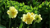 jonquil : Floral garden. Close-up shot of a blooming yellow narcissus. Stock Footage