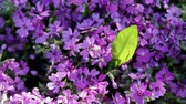 flower growing sun : Floral garden. Close-up shot of a blooming phlox with opening purple petals. Stock Footage