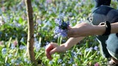 springtime : The young woman collecting the bouquet of the bluebells Stock Footage