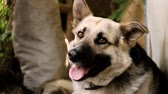 doghouse : Domestic animals. Joyful cute dog like a german shepherd. HD