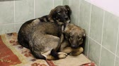 short haired : Two cute mongrel dogs looking at camera and trembling in fear in a spacious enclosure of animal shelter. HD