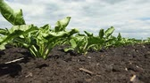raiz de beterraba : Agricultural industry. Close-up shot of young green sprouts of sugar beet. HD