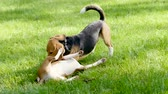 гончая : Basenji dog and beagle playing on a green grass in a summer park. 4K