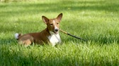 жевание : Close-up of basenji dog is chewing stick lying on grass in lawn in the summer park. 4K Стоковые видеозаписи